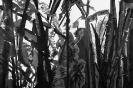 Bambous de GENEVIEVE GOSSOT3_11